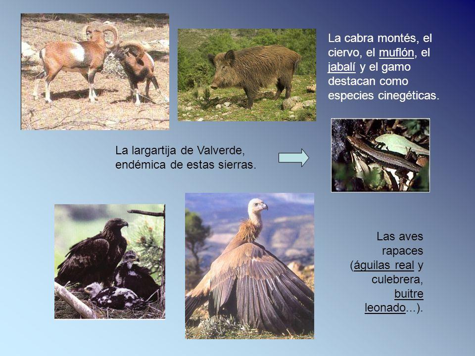 La cabra montés, el ciervo, el muflón, el jabalí y el gamo destacan como especies cinegéticas.