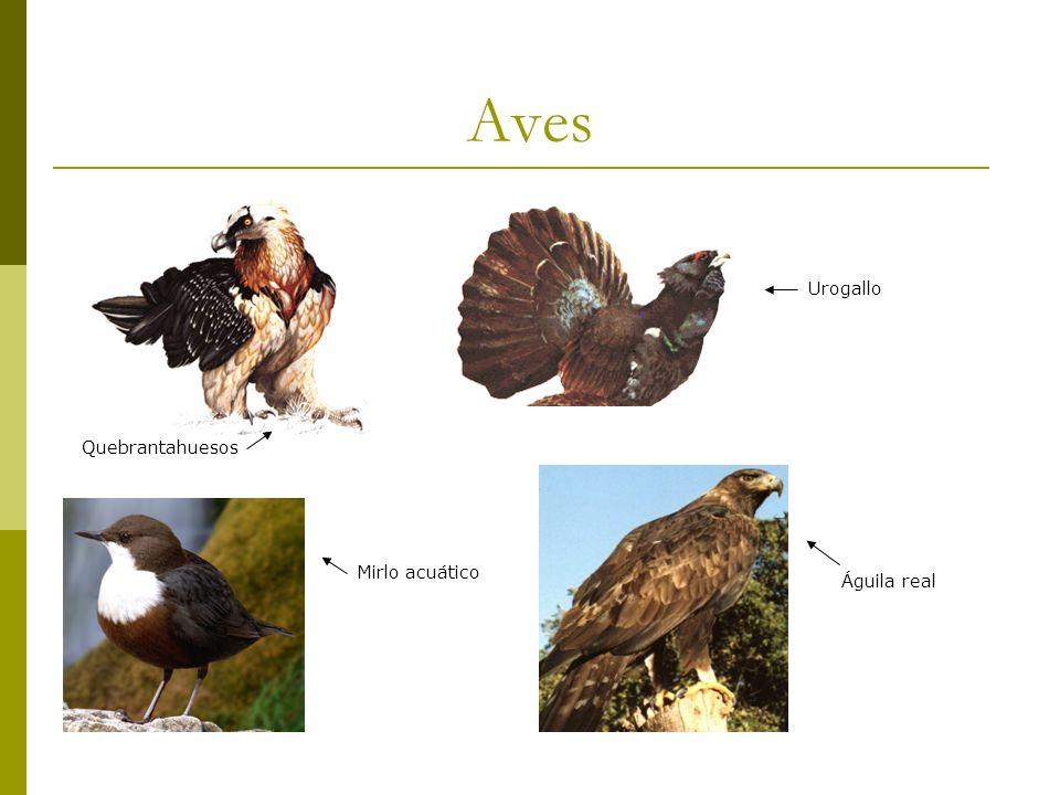 Aves Urogallo Quebrantahuesos Mirlo acuático Águila real
