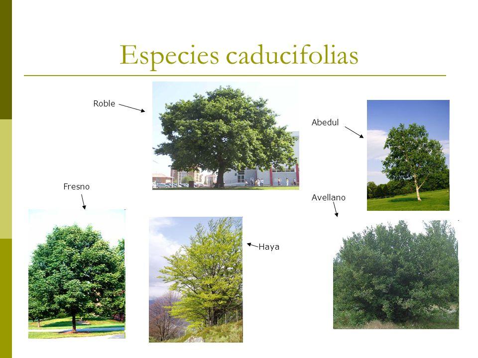Especies caducifolias