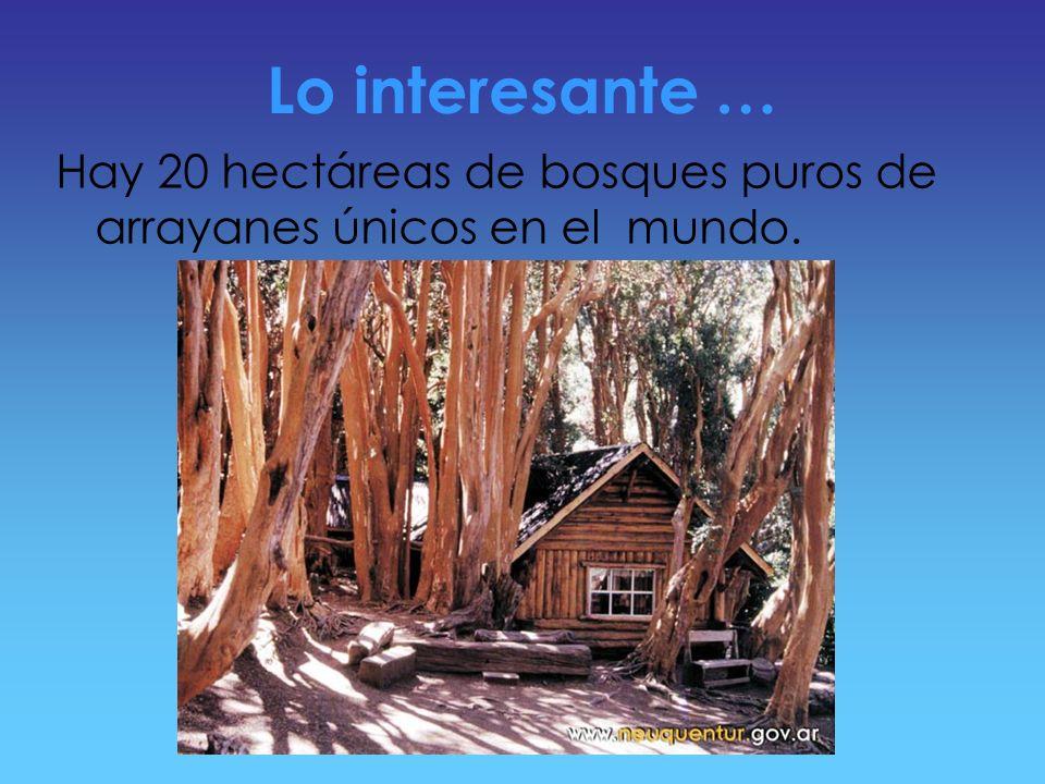 Lo interesante … Hay 20 hectáreas de bosques puros de arrayanes únicos en el mundo.