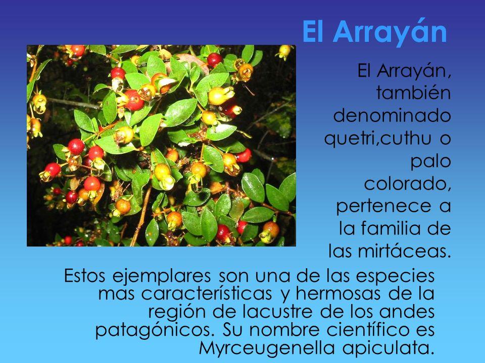 El Arrayán El Arrayán, también denominado quetri,cuthu o palo colorado, pertenece a la familia de las mirtáceas.