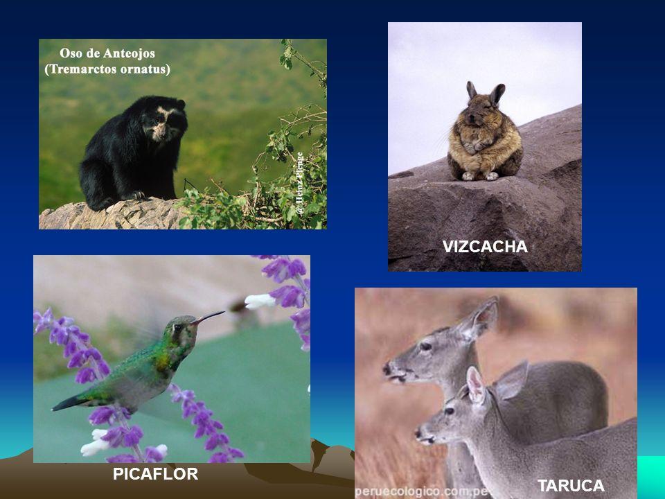 VIZCACHA PICAFLOR TARUCA