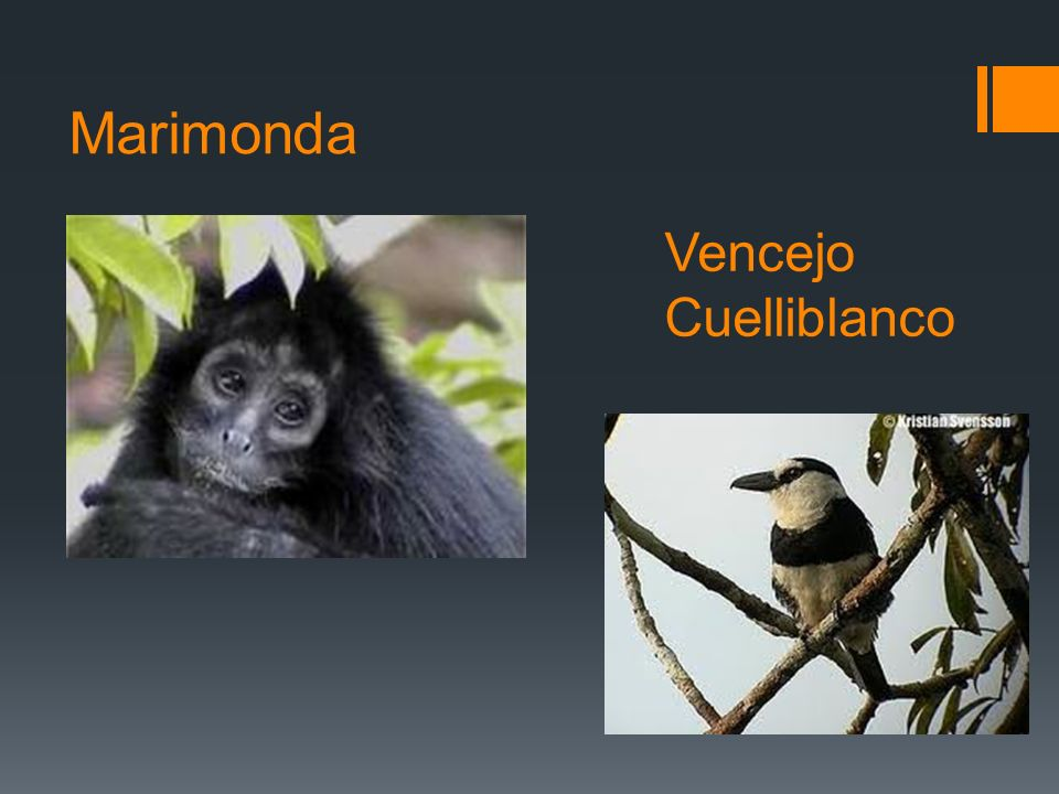 Marimonda Vencejo Cuelliblanco