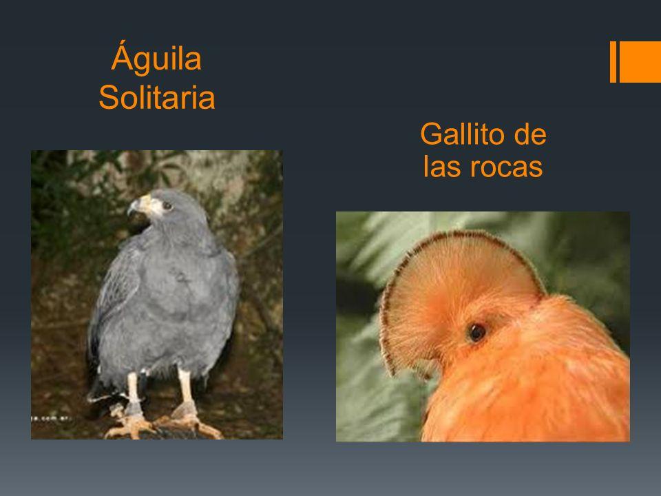 Águila Solitaria Gallito de las rocas