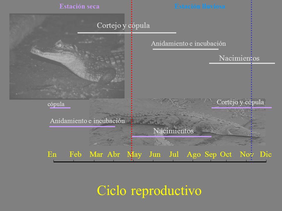 Ciclo reproductivo Cortejo y cópula Nacimientos Nacimientos En Feb Mar