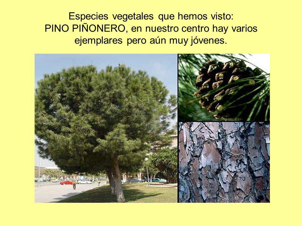 Especies vegetales que hemos visto: PINO PIÑONERO, en nuestro centro hay varios ejemplares pero aún muy jóvenes.