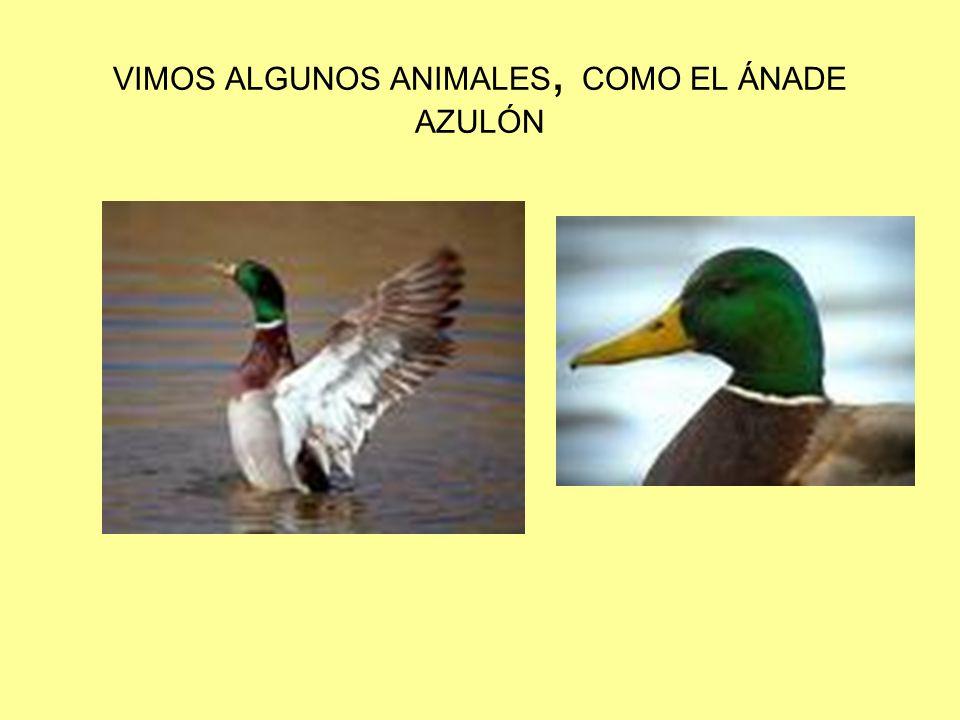 VIMOS ALGUNOS ANIMALES, COMO EL ÁNADE AZULÓN