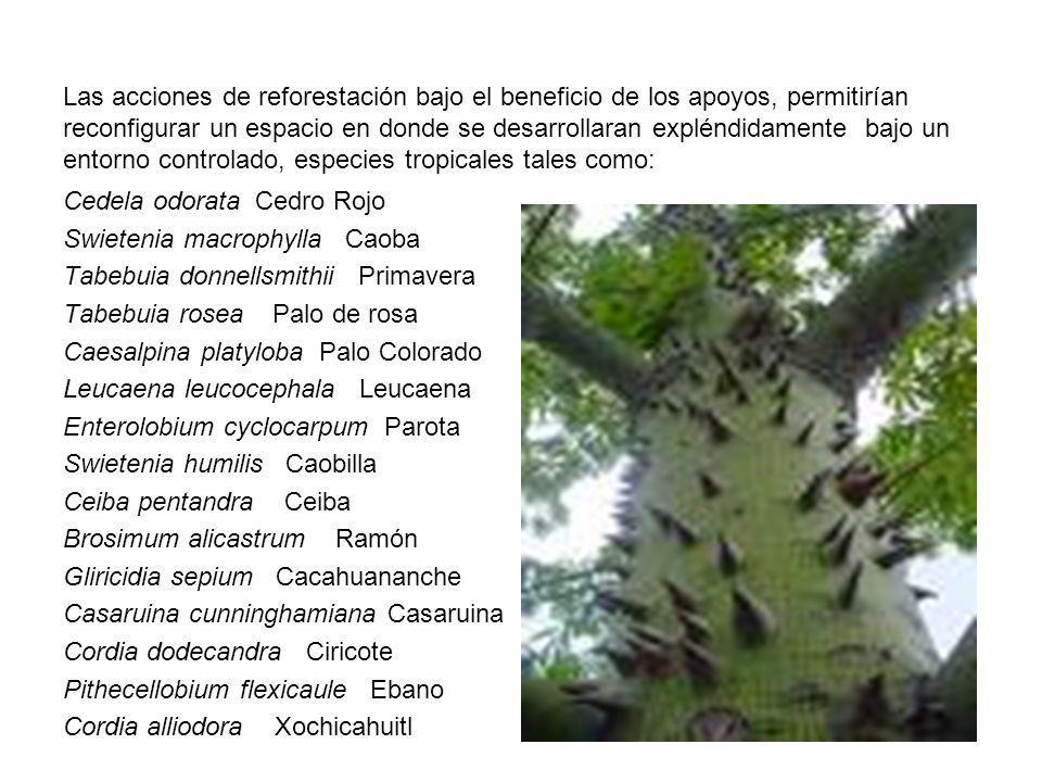 Las acciones de reforestación bajo el beneficio de los apoyos, permitirían reconfigurar un espacio en donde se desarrollaran expléndidamente bajo un entorno controlado, especies tropicales tales como:
