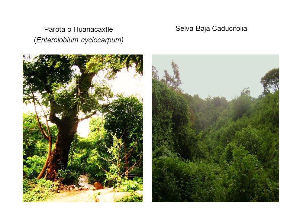 (Enterolobium cyclocarpum) Selva Baja Caducifolia