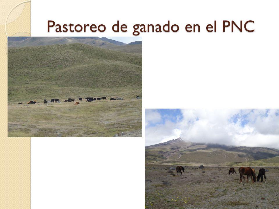 Pastoreo de ganado en el PNC