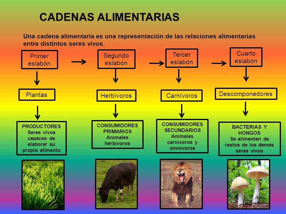 CADENAS ALIMENTARIAS Una cadena alimentaria es una representación de las relaciones alimentarias entre distintos seres vivos.
