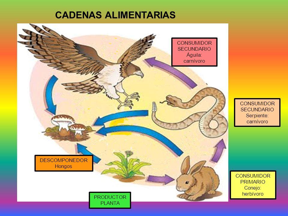 CADENAS ALIMENTARIAS CONSUMIDOR SECUNDARIO Águila: carnívoro