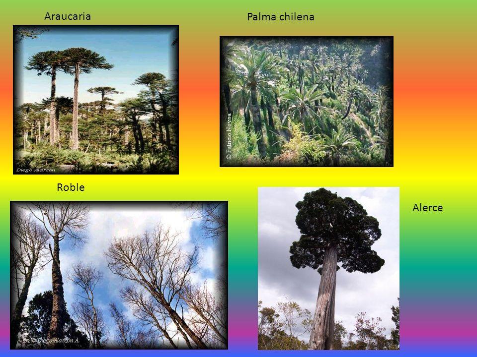 Araucaria Palma chilena Roble Alerce