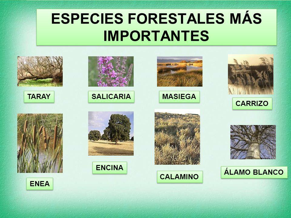 ESPECIES FORESTALES MÁS IMPORTANTES