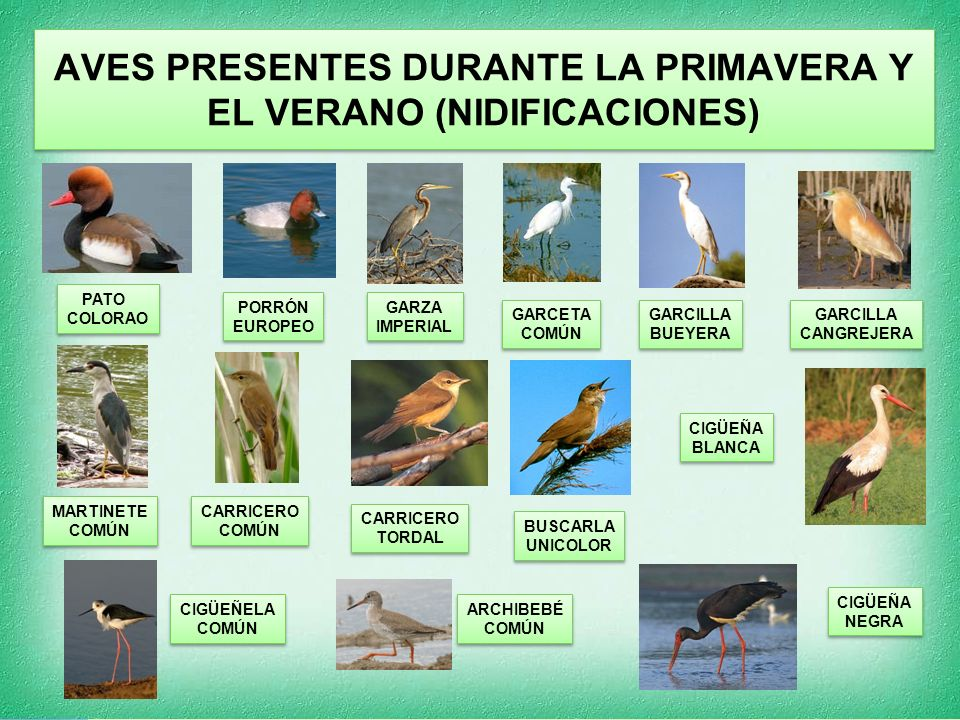 AVES PRESENTES DURANTE LA PRIMAVERA Y EL VERANO (NIDIFICACIONES)