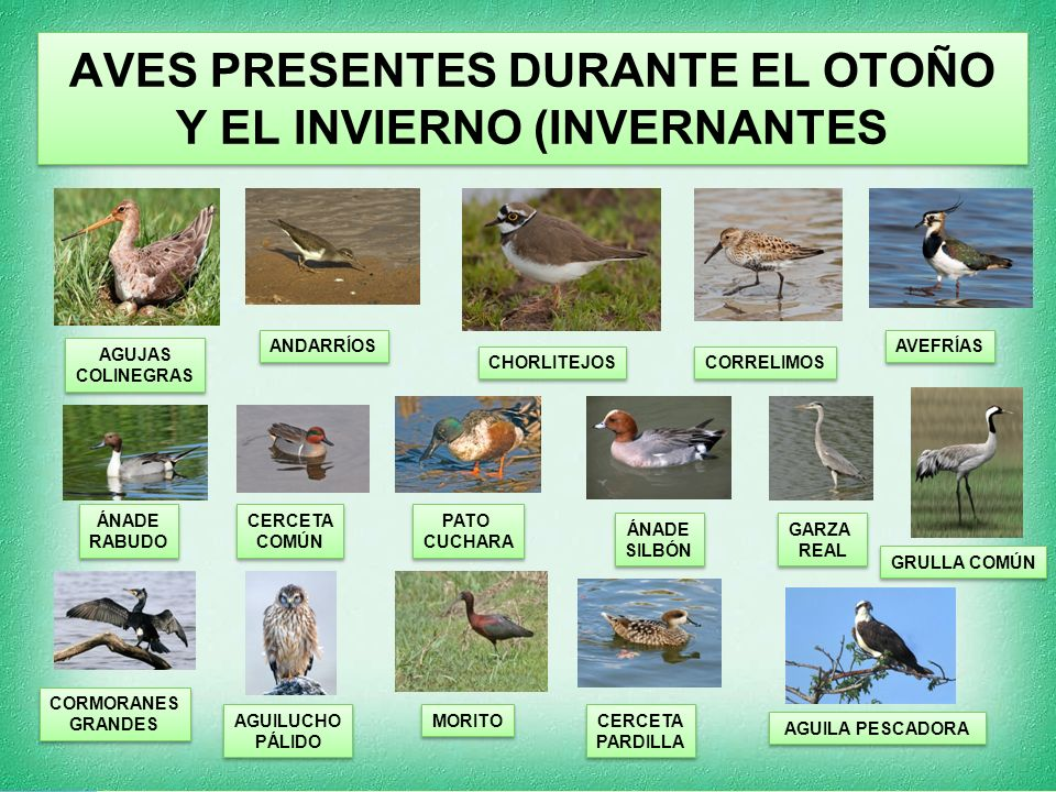 AVES PRESENTES DURANTE EL OTOÑO Y EL INVIERNO (INVERNANTES