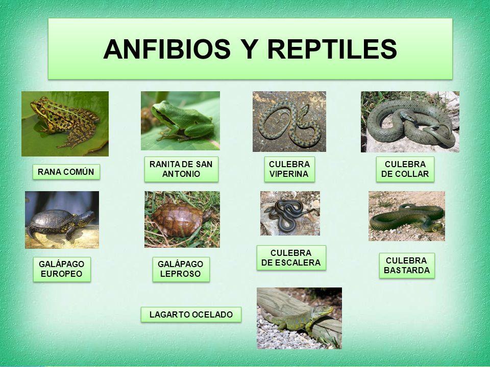 ANFIBIOS Y REPTILES RANITA DE SAN ANTONIO CULEBRA VIPERINA CULEBRA
