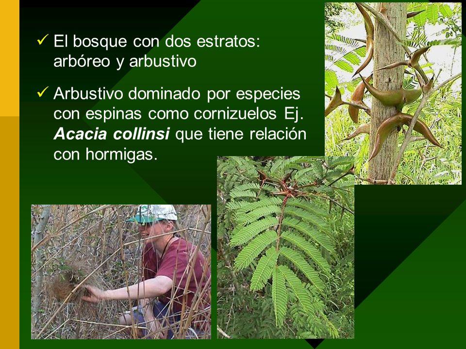 El bosque con dos estratos: arbóreo y arbustivo