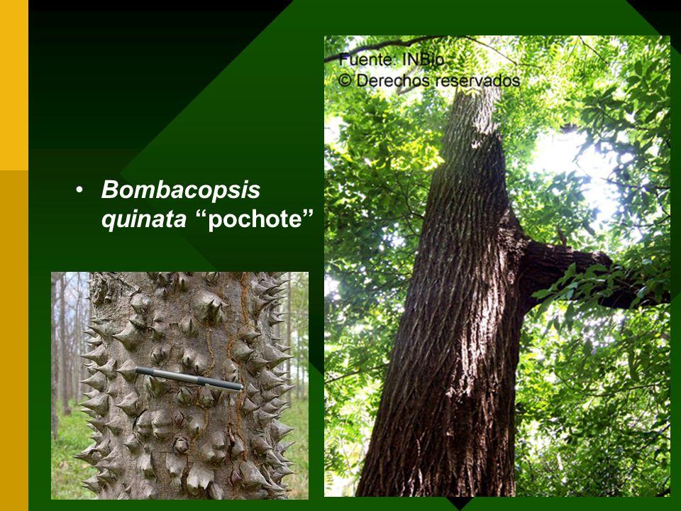 Bombacopsis quinata pochote