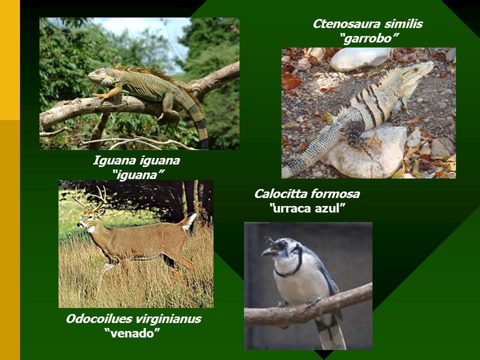 Ctenosaura similis garrobo