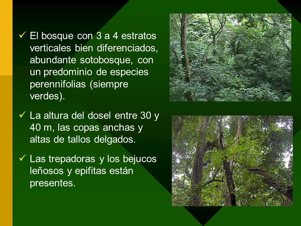 El bosque con 3 a 4 estratos verticales bien diferenciados, abundante sotobosque, con un predominio de especies perennifolias (siempre verdes).