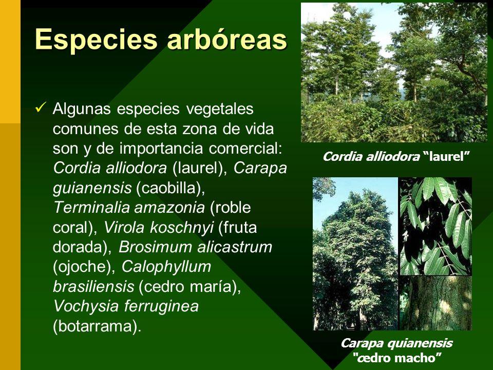 Cordia alliodora laurel Carapa quianensis cedro macho