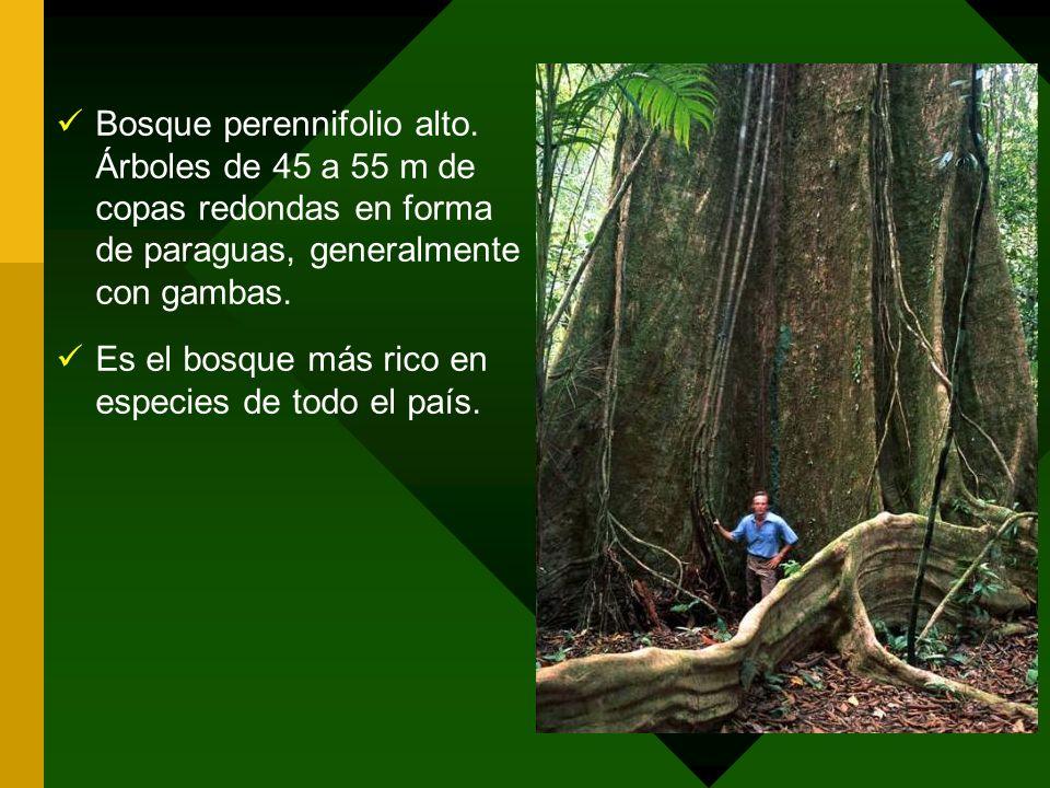 Bosque perennifolio alto