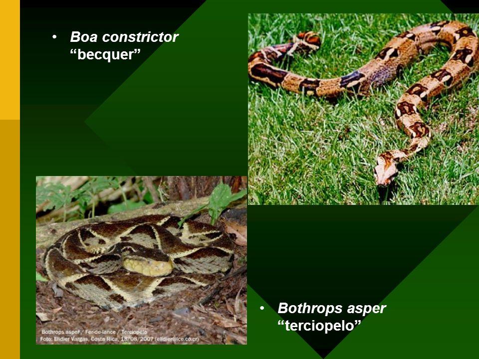 Boa constrictor becquer