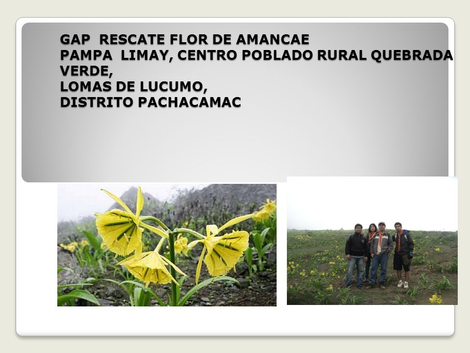 GAP RESCATE FLOR DE AMANCAE PAMPA LIMAY, CENTRO POBLADO RURAL QUEBRADA VERDE, LOMAS DE LUCUMO, DISTRITO PACHACAMAC