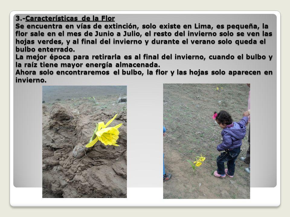 3.-Características de la Flor Se encuentra en vías de extinción, solo existe en Lima, es pequeña, la flor sale en el mes de Junio a Julio, el resto del invierno solo se ven las hojas verdes, y al final del invierno y durante el verano solo queda el bulbo enterrado.