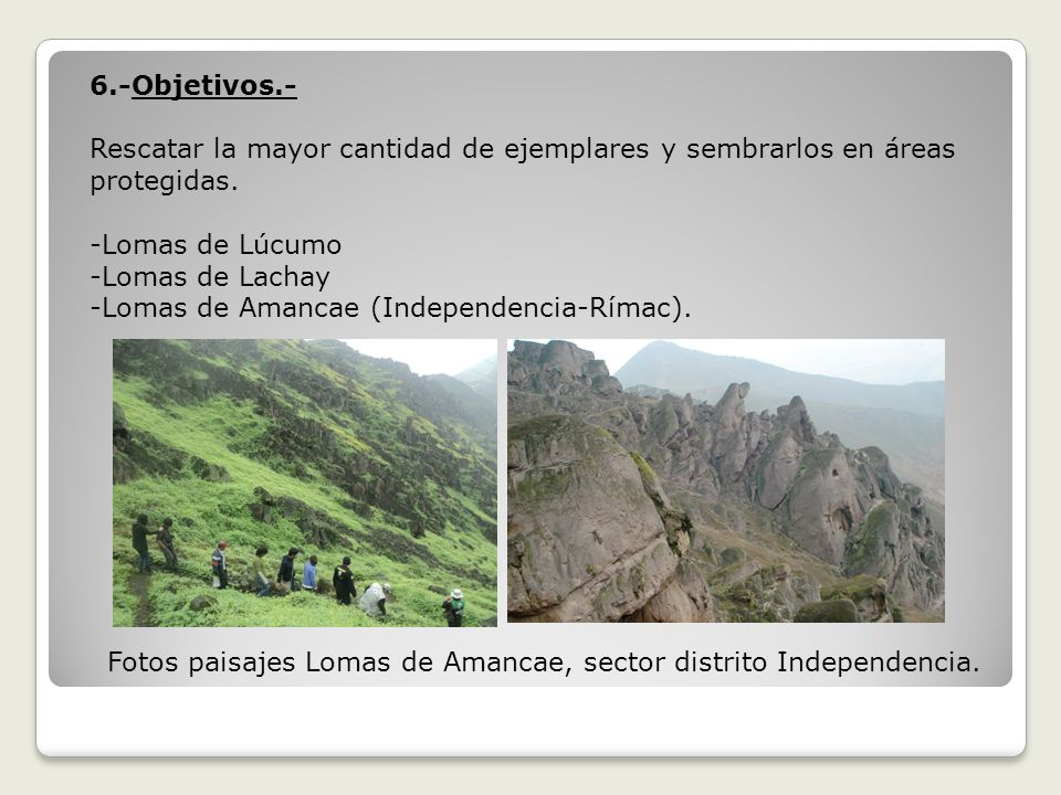 6.-Objetivos.- Rescatar la mayor cantidad de ejemplares y sembrarlos en áreas protegidas. -Lomas de Lúcumo.
