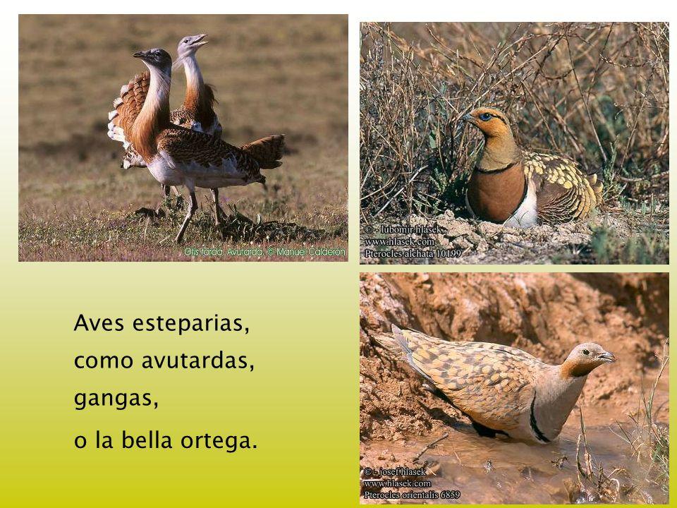 Aves esteparias, como avutardas, gangas, o la bella ortega.