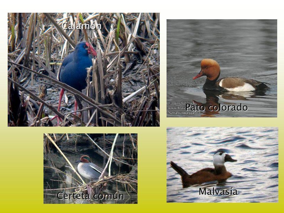 Calamón Pato colorado Malvasía Certeta común