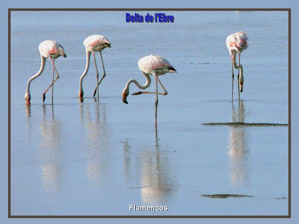 Delta de l Ebre Flamencos