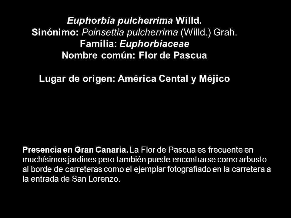 Euphorbia pulcherrima Willd.