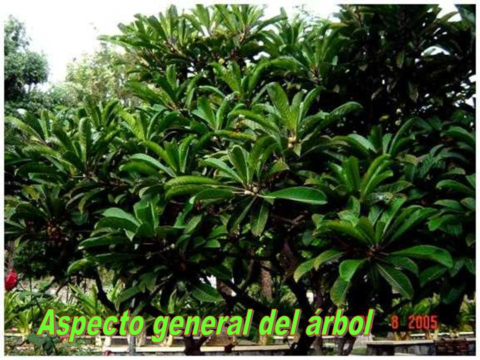 Aspecto general del árbol