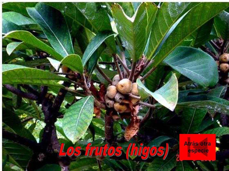 Atrás otra especie Los frutos (higos)