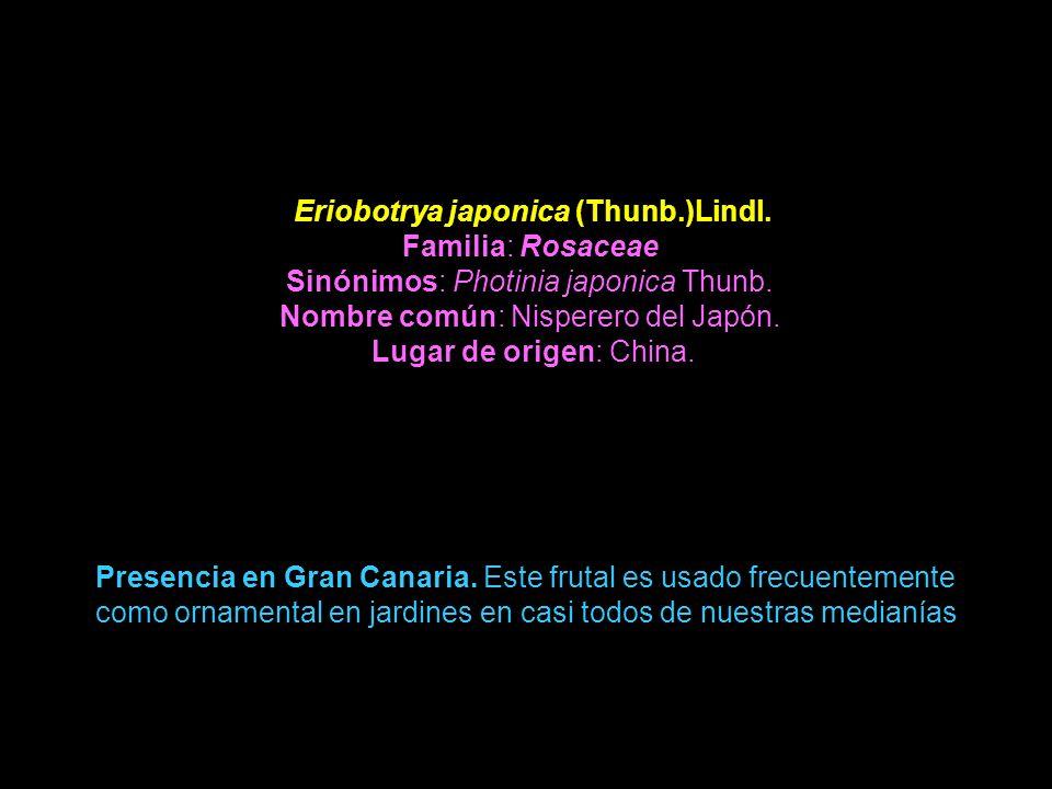 Eriobotrya japonica (Thunb.)Lindl. Familia: Rosaceae