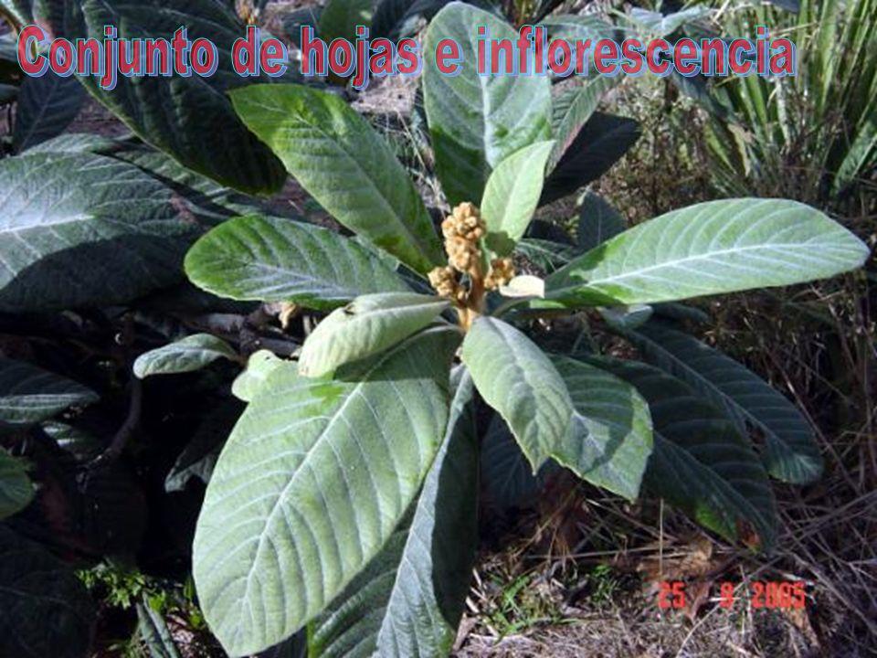 Conjunto de hojas e inflorescencia