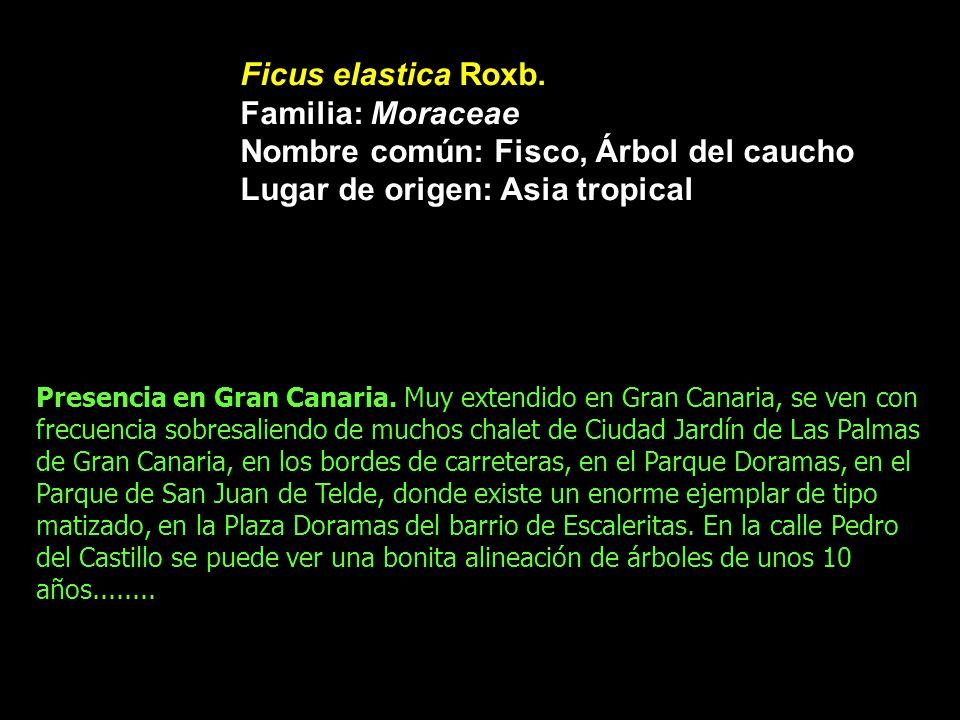 Nombre común: Fisco, Árbol del caucho Lugar de origen: Asia tropical