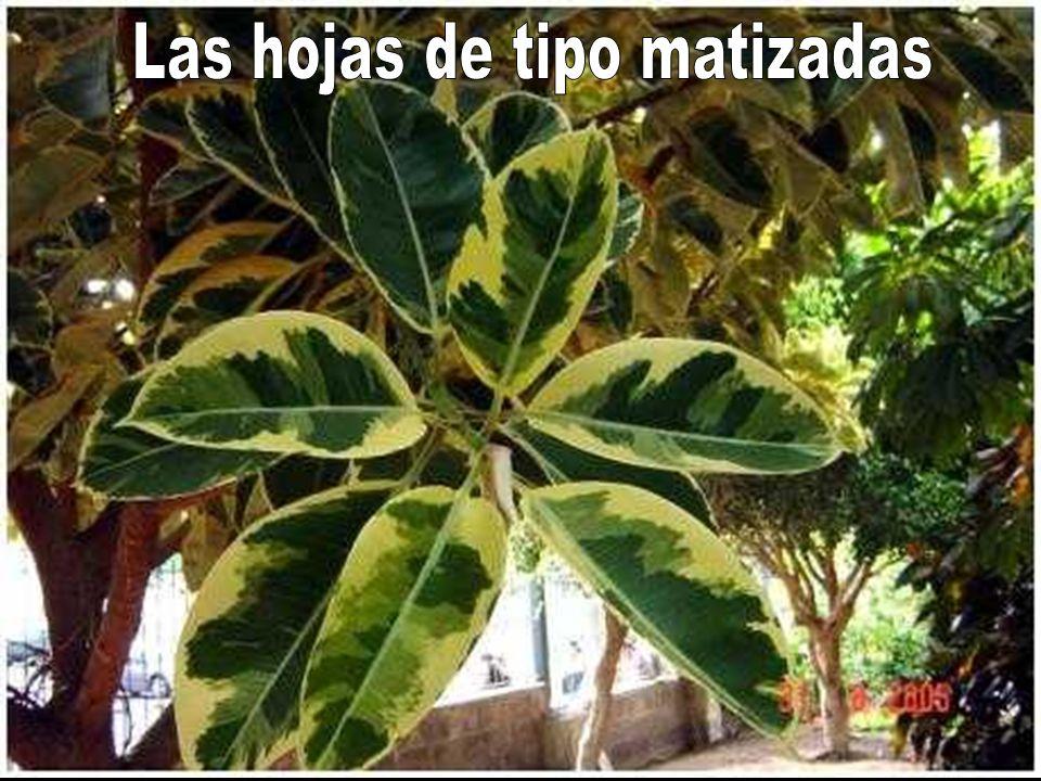 Las hojas de tipo matizadas