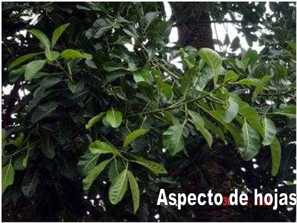 Aspecto de hojas