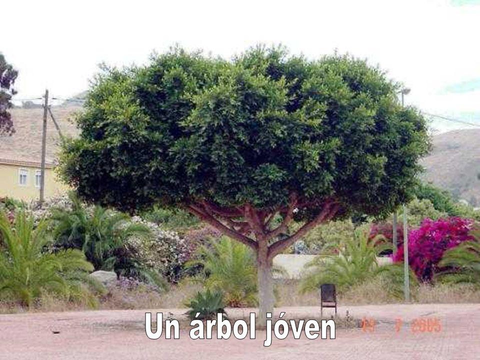 Un árbol jóven