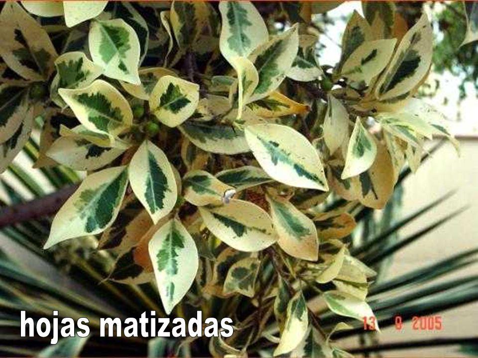 hojas matizadas