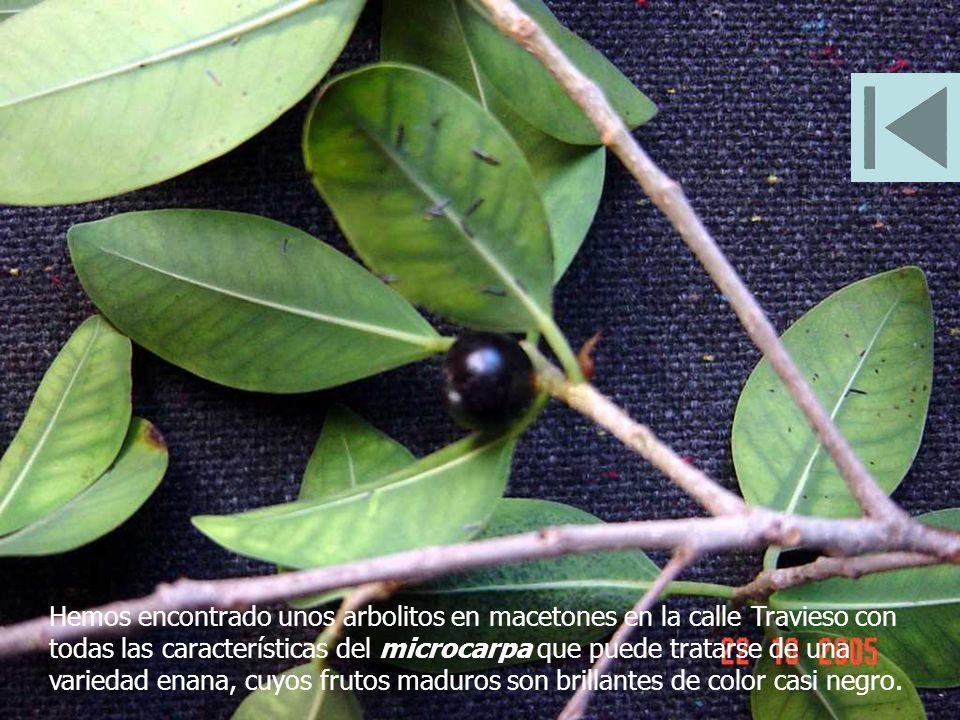 Hemos encontrado unos arbolitos en macetones en la calle Travieso con todas las características del microcarpa que puede tratarse de una variedad enana, cuyos frutos maduros son brillantes de color casi negro.