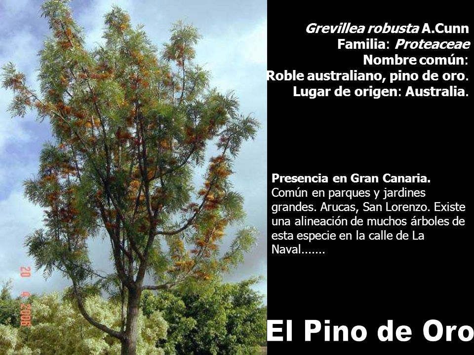 El Pino de Oro Grevillea robusta A.Cunn Familia: Proteaceae