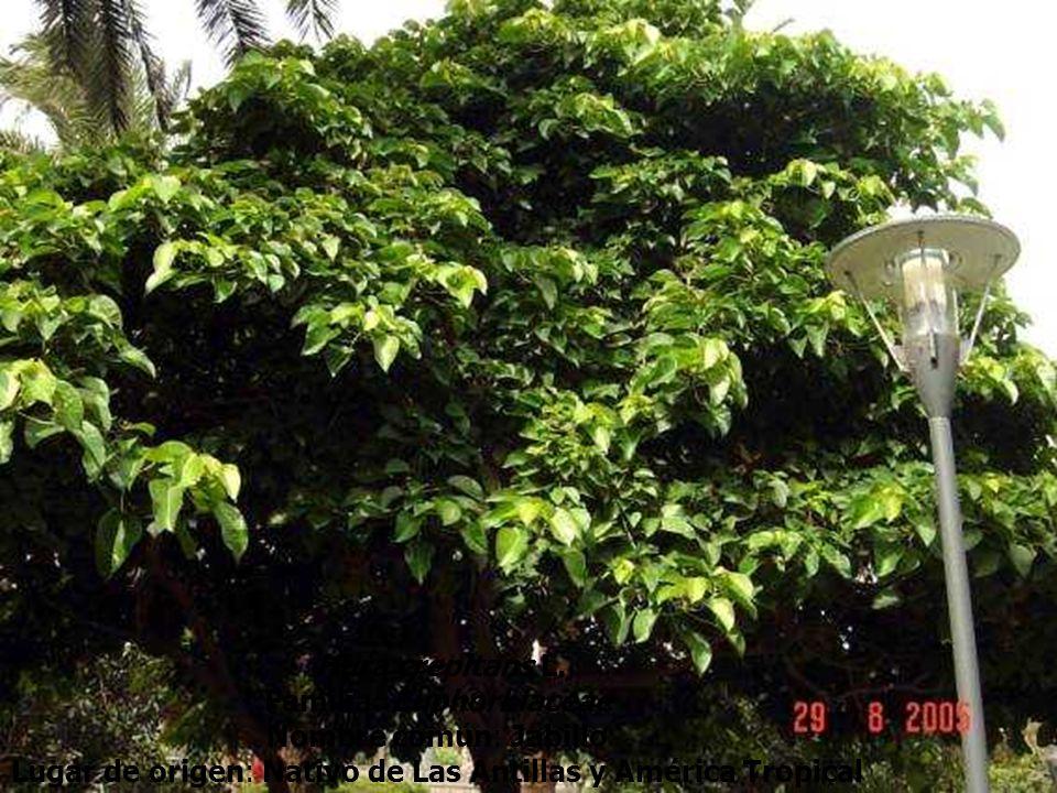 Familia: Euphorbiaceae Nombre común: Jabillo