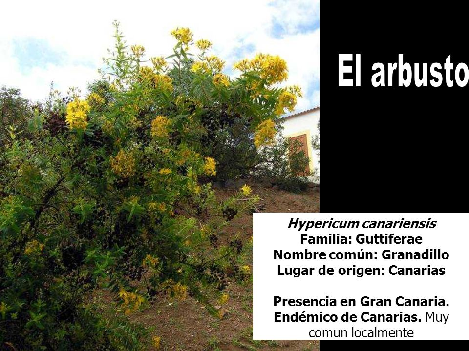 Hypericum canariensis Presencia en Gran Canaria.