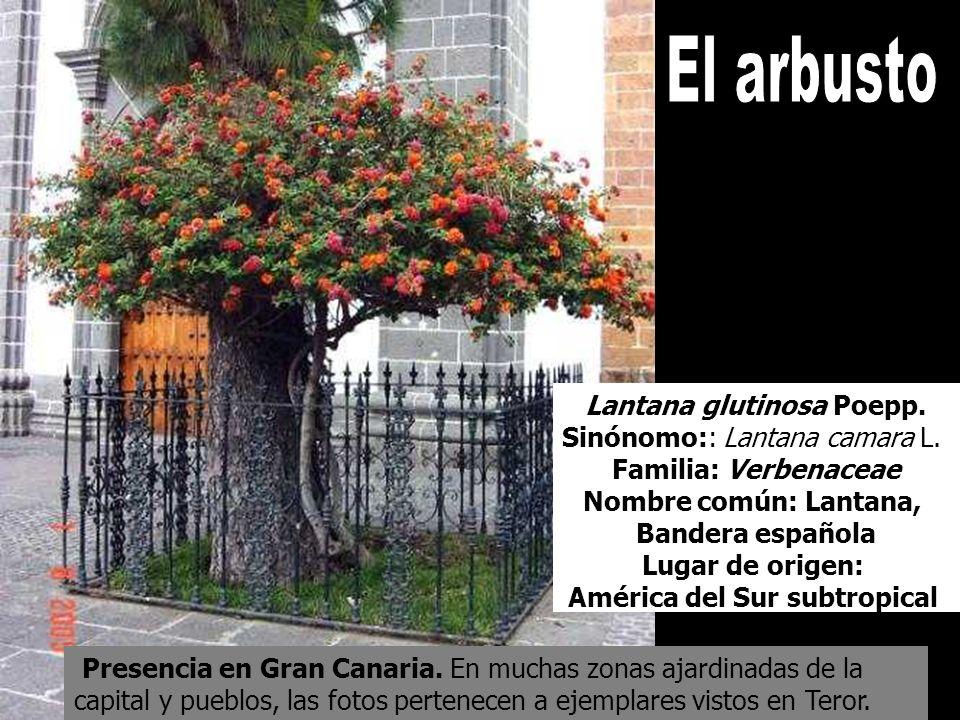 El arbusto Lantana glutinosa Poepp. Sinónomo:: Lantana camara L.