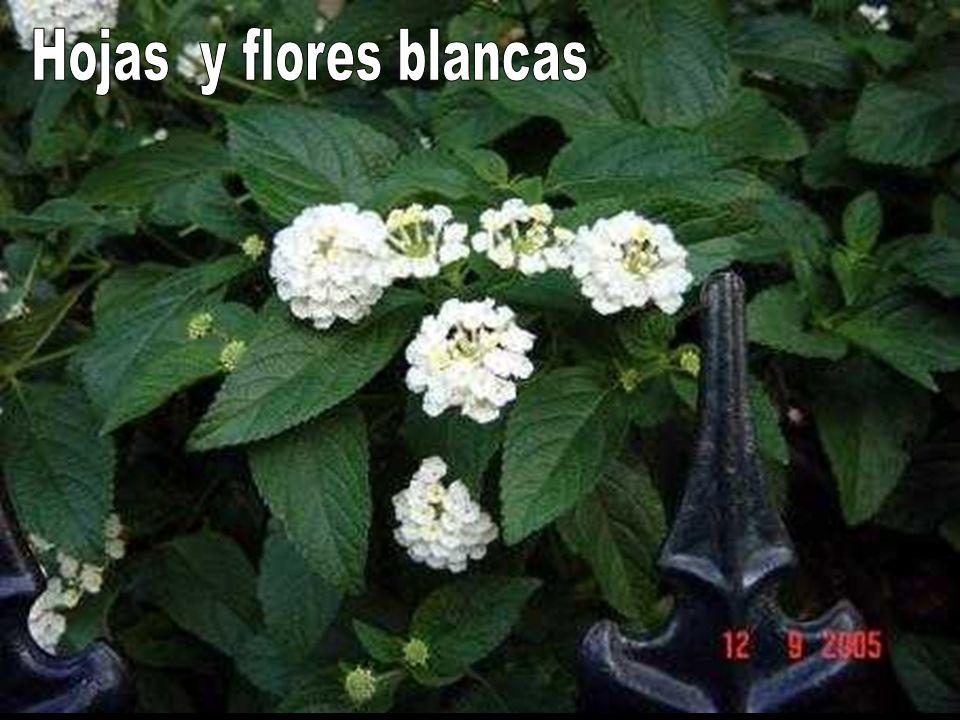 Hojas y flores blancas